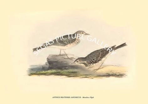 Fine art print of the ANTHUS PRATENSIS JAPONICUS - Meadow Pipit by Philipp Franz Balthasar von Siebold (1850)